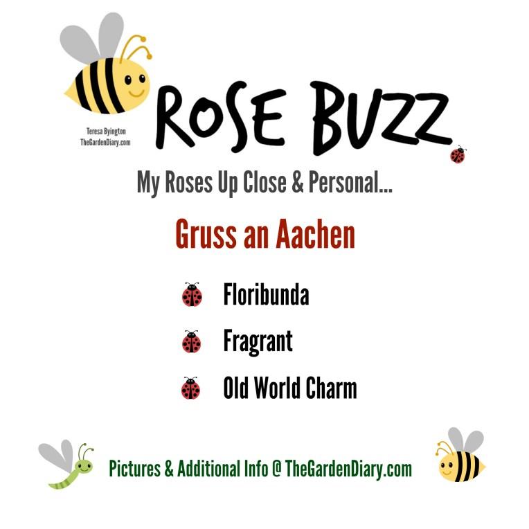 Rose Buzz_Gruss2