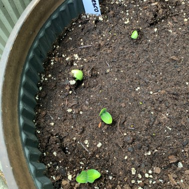 🌱Zucchini are growing in containers as we did last year. This year's varieties are Romanesco and Rhonde de Nice (a round Zuc)