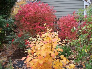 Before I knew much about invasives, I planted Burning Bush in my garden (background); but, I did plant native Witch Alder (foreground, the bright orange shrub)