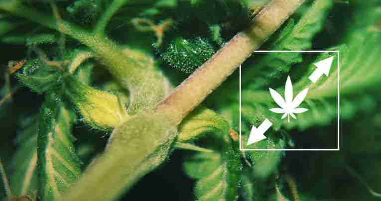 How To Prevent Stretched Marijuana Plants