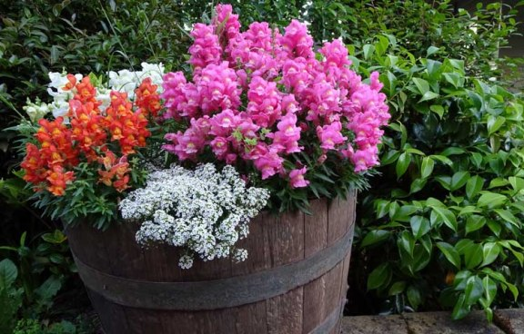 snapdragons, annual flowers, colourful pots, wine barrels