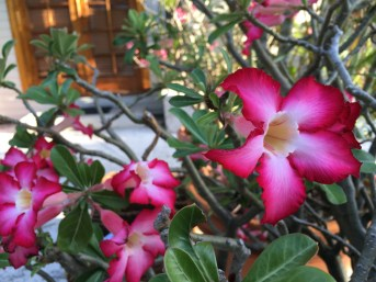Close up of the potted desert rose at the Heron House.