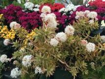 Blooming sedum adolphii among the kalanchoes.