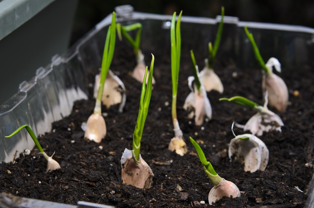 Easy Ways To Grow Garlic At Home To Harvest Thegardengranny
