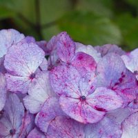 Restoration Rain; Many Blooms Still Linger There; Hunting Hydrangeas; Manual Hay Baler - a Design
