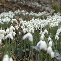 Downs Tools, Walks and West Wales Snowdrops; and Floral Symmetry.