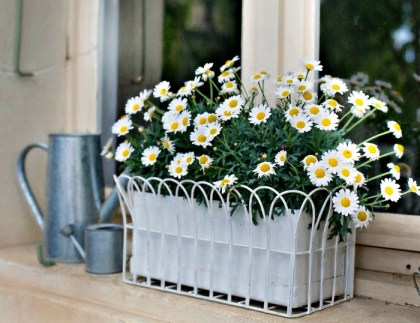 Image result for Chamomile house plant