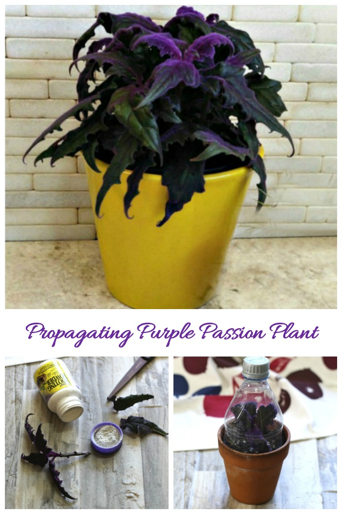 Purple Passion Plant Cuttings How To Propagate Gynura