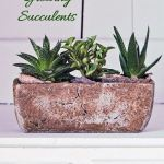 How To Care For Succulents Succulent Plant Care Growing Succulents