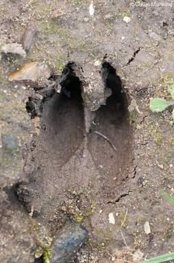 deer track