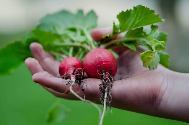 havesting vegetables