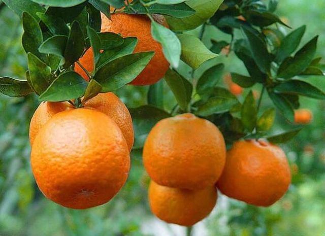 mandarin orange tree - how to grow orange trees in pots