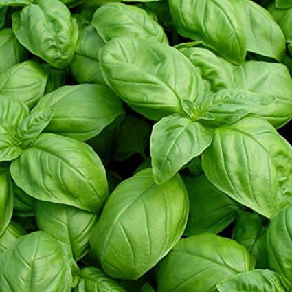 sweet basil - mosquito repellent