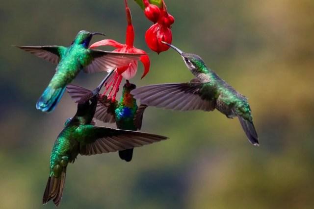 hummingbirds feeding - how to attact hummingbirds