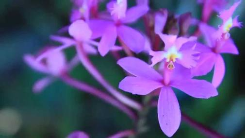 epidendrum orchid - how to care for orchids
