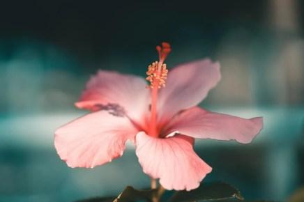 hardy hibiscus flower