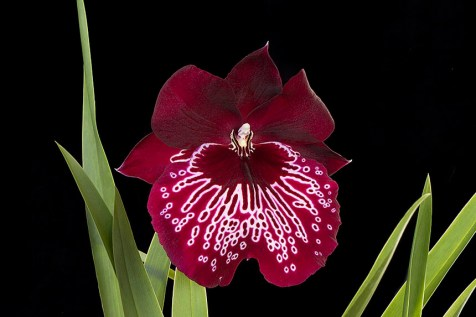 Miltonia Orchid -how to care for orchids