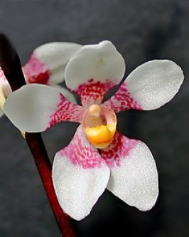 sarcochilus orchid-how to care for orchids