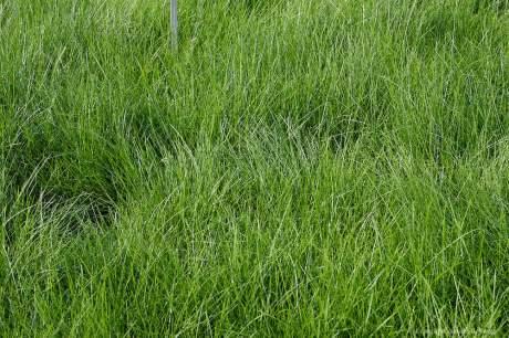 Velvet Bentgrass