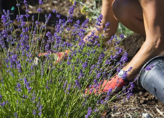 lavender care