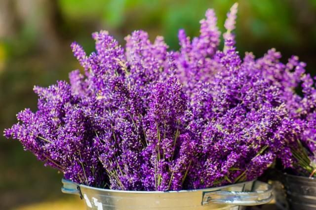 lavender outside