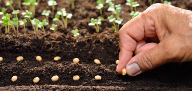 planting sage seeds