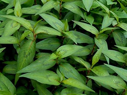 vietnamese cilantro