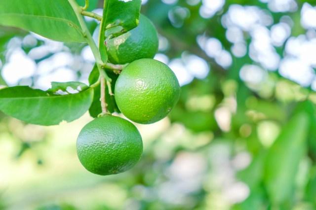 Hirt's Key Lime Tree