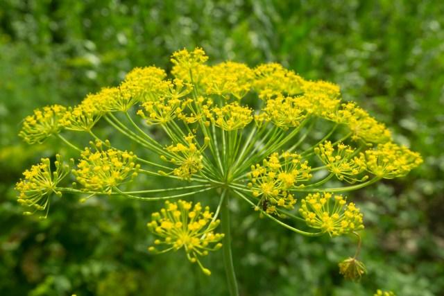Perennial Fennel