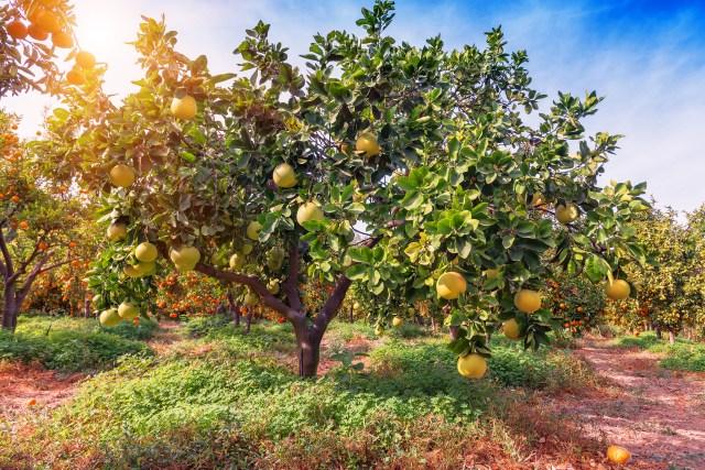 How to Grow Grapefruit in Pots