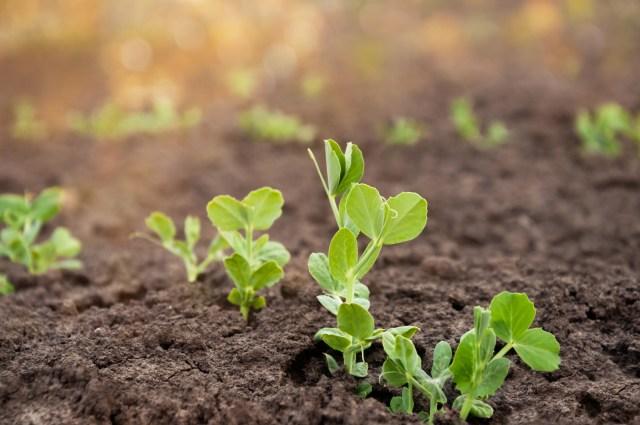 growing peas outside 2