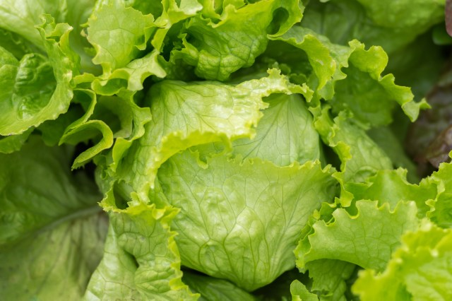 iceberg lettuce