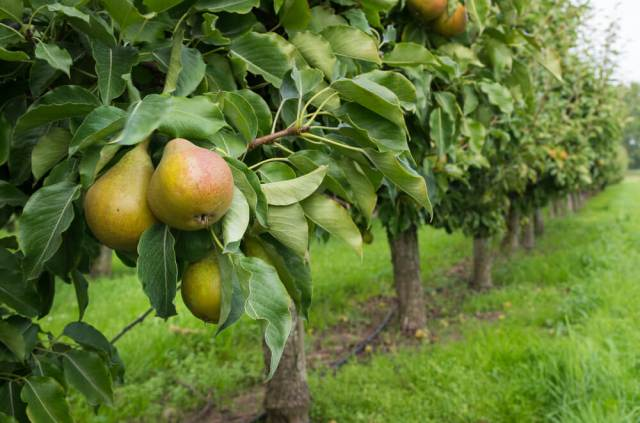 growing pear trees