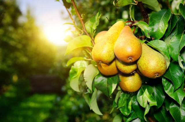 pear growing