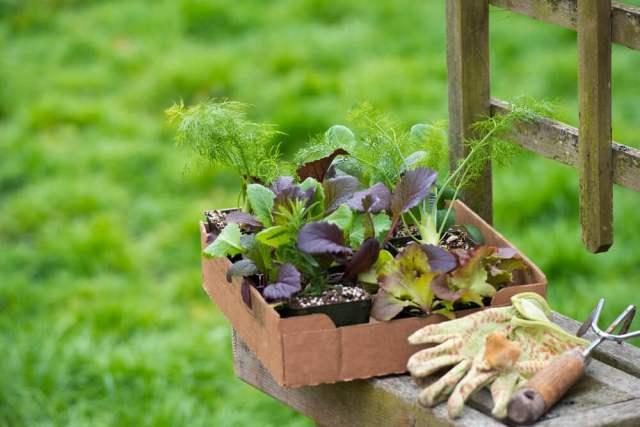 planting collard greens