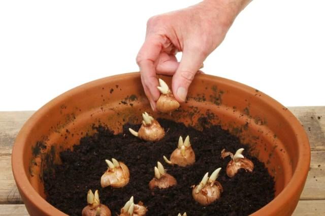 crocus bulbs growing