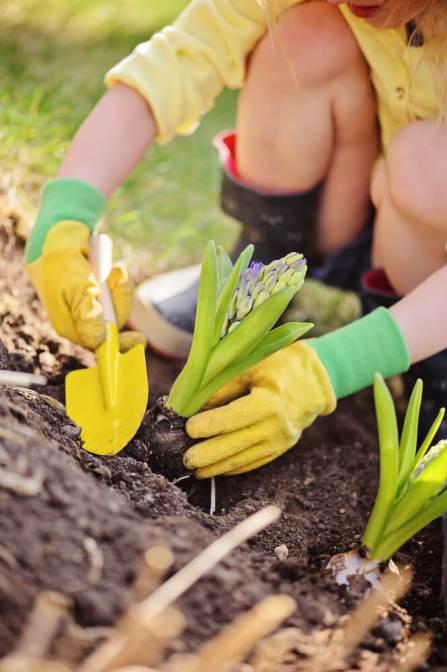 planting hyacinths 2