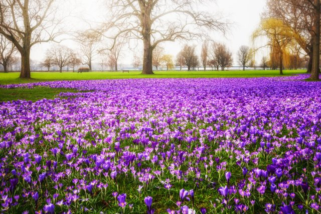 crocus flower garden