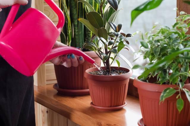 watering indoor plants - most common gardening mistakes