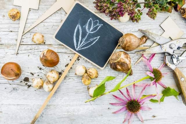 echinacea bulbs