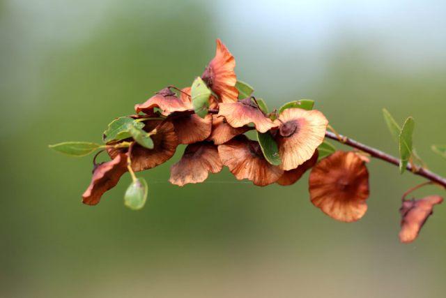 crown of thorn pruning