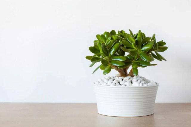 Jade Plant Types