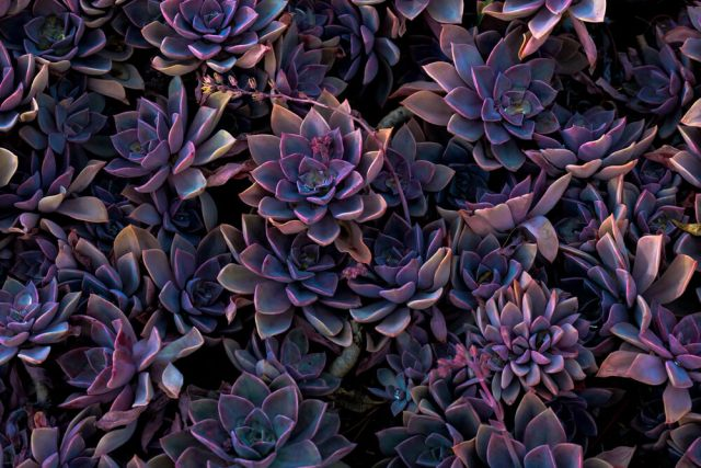 How to Grow Succulents in a Garden