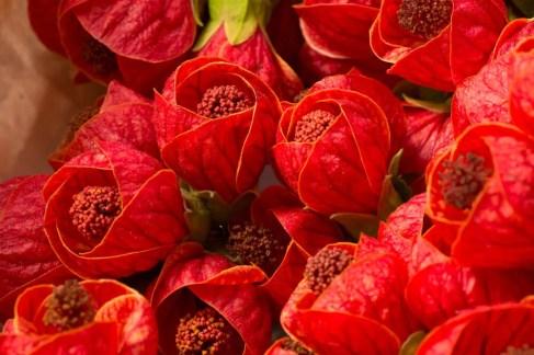 best abutilon fertilizer