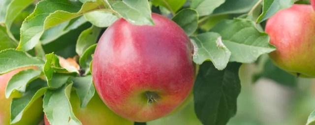 pruning fruit tree