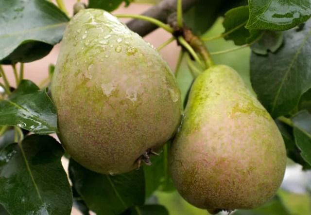 pear tree care