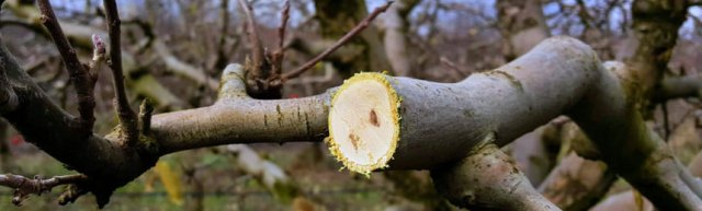 pruning non fruited wood