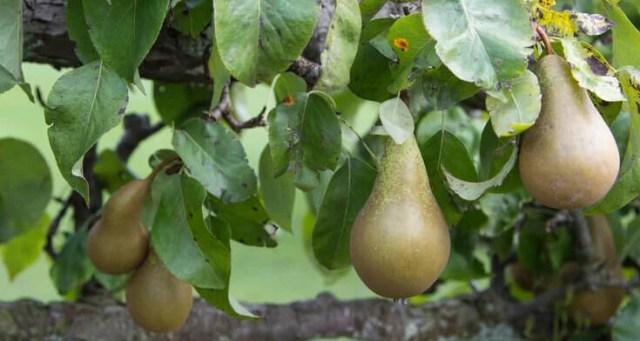 pruning pears
