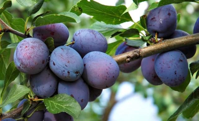 pruning plums
