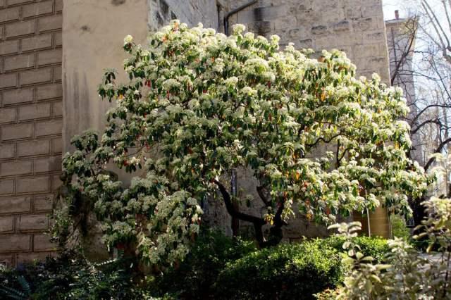 Japanese Lilac Tree